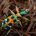 Japanese Tiger Beetle - Photo (c) Ryosuke Kuwahara, some rights reserved (CC BY-NC)
