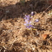 Chlorogalum purpureum reductum - Photo (c) joergmlpts, algunos derechos reservados (CC BY)