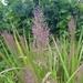 Coleataenia stipitata - Photo (c) joeyandmaevecoker, algunos derechos reservados (CC BY-NC)