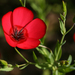 Scarlet Flax - Photo (c) Philip Bouchard, some rights reserved (CC BY-NC-ND)