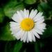 חיננית רב-שנתית - Photo (c) Salomé,  זכויות יוצרים חלקיות (CC BY-NC-SA)