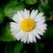 Daisies - Photo (c) Salomé, some rights reserved (CC BY-NC-SA)