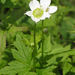 Anemone virginiana - Photo (c) Lindley Ashline,  זכויות יוצרים חלקיות (CC BY-NC)