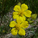 Brewer's Cinquefoil - Photo (c) randomtruth, some rights reserved (CC BY-NC-SA)