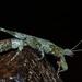 Prisopus sacratus - Photo (c) Hugo Dolsan, algunos derechos reservados (CC BY-NC)
