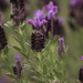 Topped Lavender - Photo (c) galileo, some rights reserved (CC BY-NC), uploaded by esra-ergin