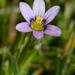 Romulea minutiflora - Photo (c) Michael Keogh, algunos derechos reservados (CC BY-NC-SA)