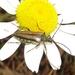 Lepturobosca nigrolineata - Photo (c) Russell Pfau, algunos derechos reservados (CC BY-NC)