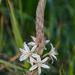 Trachyandra ciliata - Photo (c) peterswart, μερικά δικαιώματα διατηρούνται (CC BY-NC)