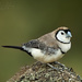 Double-barred Finch - Photo (c) Michael Hains, some rights reserved (CC BY-NC)