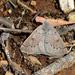 Dolabrossa suffusa - Photo (c) Jim Duggan,  זכויות יוצרים חלקיות (CC BY-SA)