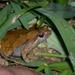 Microhyla kuramotoi - Photo (c) Evan Centanni, algunos derechos reservados (CC BY-NC-SA)