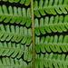 Dryopteris affinis - Photo (c) Nicholas Turland,  זכויות יוצרים חלקיות (CC BY-NC-ND)
