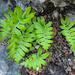 Polypodium cambricum - Photo (c) Valter Jacinto   Portugal, algunos derechos reservados (CC BY-NC-SA)