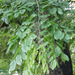 Pterocarpus dalbergioides - Photo (c) 106611639464075912591, algunos derechos reservados (CC BY-NC-SA), uploaded by Jonathan Hiew