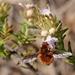 Bombylius mexicanus - Photo (c) Mary Keim, algunos derechos reservados (CC BY-NC-SA)