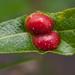 Pontania californica - Photo (c) Franco Folini,  זכויות יוצרים חלקיות (CC BY)