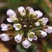 Noccaea perfoliata - Photo (c) jacinta lluch valero, algunos derechos reservados (CC BY-SA)