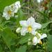 Solanum bonariense - Photo (c) Martin Arregui, some rights reserved (CC BY-NC)