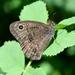 Cercyonis sthenele - Photo (c) Leslie Flint, algunos derechos reservados (CC BY-NC)