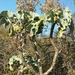 Kalanchoe Oreja de Elefante de Madagascar - Photo (c) mamy_andriamahay, algunos derechos reservados (CC BY-NC)