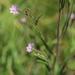 Marsh Willowherb - Photo (c) HermannFalkner/sokol, some rights reserved (CC BY-NC)