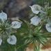 Nigella arvensis - Photo (c) candiru, algunos derechos reservados (CC BY)