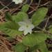 Lysimachia europaea arctica - Photo (c) podiceps, algunos derechos reservados (CC BY-NC), uploaded by Susan