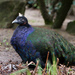 Congo Peafowl - Photo (c) Arjan Haverkamp, some rights reserved (CC BY)