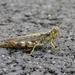 Melanoplus punctulatus - Photo (c) Dendroica cerulea, osa oikeuksista pidätetään (CC BY-NC-SA)