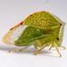 Stictocephala bisonia - Photo (c) Cédric Mondy,  זכויות יוצרים חלקיות (CC BY-NC)