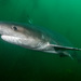 Broadnose Sevengill Shark - Photo (c) Erik Schlogl, some rights reserved (CC BY-NC)