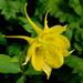 Aquilegia chrysantha - Photo (c) James Gaither,  זכויות יוצרים חלקיות (CC BY-NC-ND)
