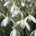 Galanthus nivalis - Photo (c) Paul Appleton, μερικά δικαιώματα διατηρούνται (CC BY-NC)