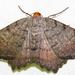 Macaria transitaria - Photo (c) David Dodd, algunos derechos reservados (CC BY)