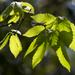 Quercus serrata - Photo (c) TommyHAGA, algunos derechos reservados (CC BY-NC-SA)