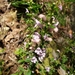 Clinopodium talladeganum - Photo (c) Alvin Diamond, algunos derechos reservados (CC BY-NC)