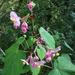 Begonia grandis - Photo (c) Samantha Leigh, osa oikeuksista pidätetään (CC BY-NC)