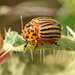 Potato Beetles - Photo (c) Steven Mlodinow, some rights reserved (CC BY-NC)