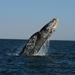 Γκρίζα Φάλαινα - Photo (c) Sergio Martínez, μερικά δικαιώματα διατηρούνται (CC BY-NC)