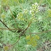Psacalium peltigerum - Photo (c) Eugenia - Tutor, algunos derechos reservados (CC BY-NC)