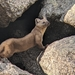 Pacific Marten - Photo (c) Brianne Kenny, some rights reserved (CC BY-NC)