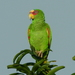 White-fronted Parrot - Photo (c) Fernando Bautista, some rights reserved (CC BY)