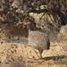 Chilean Tinamou - Photo (c) Héctor Gutiérrez Guzmán, some rights reserved (CC BY-NC)