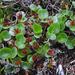 Salix herbacea - Photo (c) Kari Pihlaviita, μερικά δικαιώματα διατηρούνται (CC BY-NC)