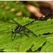 Malabar Long-legged Clubtail - Photo (c) RENJITH RV, some rights reserved (CC BY-NC)