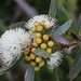 Eucalyptus diversifolia diversifolia - Photo (c) Ernst Weiher, algunos derechos reservados (CC BY-NC)