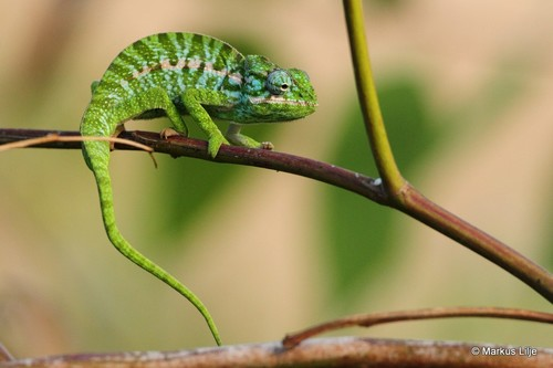 Southern Carpet Chameleon - Photo (c) markus lilje, some rights reserved (CC BY-NC-ND)