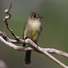 Cuban Pewee - Photo (c) Christoph Moning, some rights reserved (CC BY)