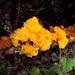 Naematelia aurantia - Photo (c) Franco Folini, algunos derechos reservados (CC BY)